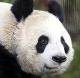 Panda täuscht für mehr Bambus Trächtigkeit vor