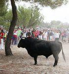 Spanien: Umstrittene Stierhatz organisiert