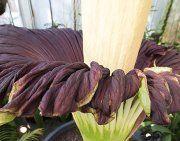 Größte Blume der Welt stinkt wieder