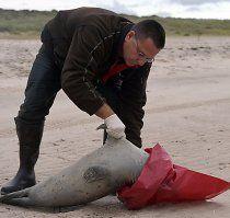 Forscher lösen Rätsel um Seehundsterben