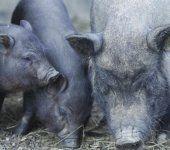 """Prozess um Tierquälerei: Ein richtiger """"Saustall"""""""