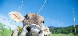 Rinder-TBC-Tests in Vorarlberg: Behörden melden erste Verdachtsfälle