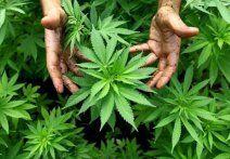 Letzte Chance für Cannabisgärtner