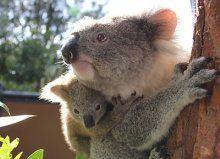 Australiens Behörden töten Hunderte Koalas