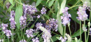 Der Lavendel im VOL.AT-Gartentipp