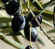 Bakterium: Olivenbäume müssen abgeholzt werden