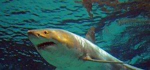 Hai-Angriffe erreichten 2015 ein Rekordhoch