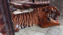 Tiger in Russland ausgebrochen