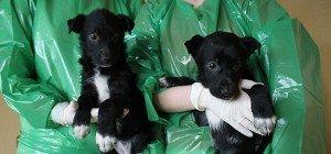 Fünf kranke Mischlingswelpen ausgesetzt: WTV versorgt Hundebabys