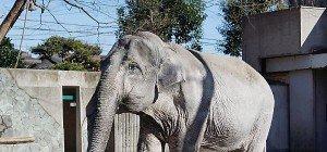 """Japans """"beliebtester Elefant"""" mit 69 Jahren gestorben"""