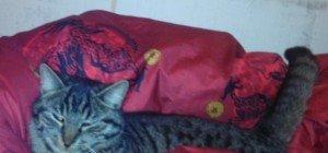Dunkler Tigerkater wird in Lustenau vermisst