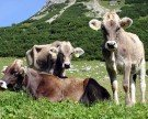 Kühe treiben Wanderer in alpine Notlage