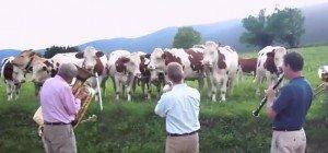 Privatkonzert für musikbegeisterte Kühe