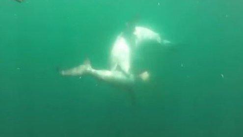 Kampf der Giganten: Riesiger Tiger-Hai attackiert Hammer-Hai