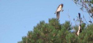 Eichhörnchen rettet sich mit spektakulärem Sprung