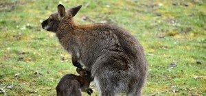 Rettungsaktion: Känguru steckte in Rost fest