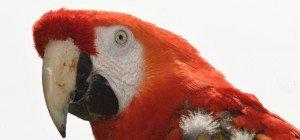 Hilferuf von Papagei sorgt für Polizeieinsatz
