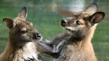 Mutter kämpfte mit aggressivem Känguru