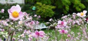 Die Anemone im VOL.AT-Gartentipp