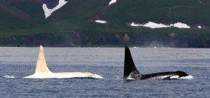Mehrere Albino-Orcas vor Ostküste Russlands entdeckt