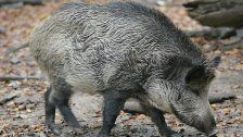 Wildschweine immer noch radioaktiv belastet