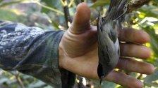 Millionen Zugvögel zum Verzehr gefangen!