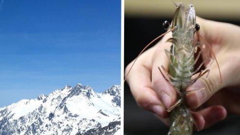 """Made in Austria: Das ist dieerste """"Alpen-Garnele"""" der Welt"""