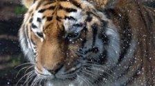 Tier-Drama: Tiger-Dame stirbt bei Untersuchung