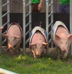 Auf die Plätze, Schweine, los!