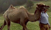 Kamele auf Südtiroler Alm sorgen für Aufsehen