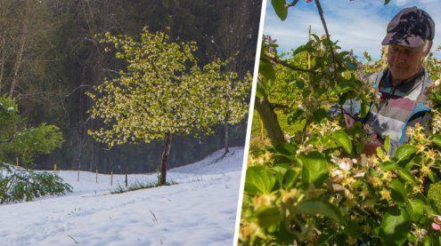 Ländle-Obstbauern: Bis zu 98 Prozent der Ernte vernichtet!