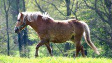 Anklage: Vier geliehene Pferde weiterverkauft