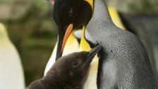 Süß! Pinguinküken in Schönbrunn