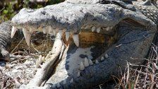 Menschliche Überreste in Krokodilmagen gefunden