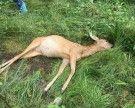 Gisingen: Reh von Hunden attackiert und grausam in den Tod gehetzt?