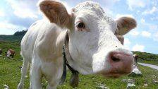 Keine Hilfe für kranke Kuh - 400 Euro Geldstrafe